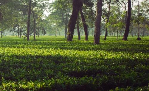 dibrugarh tea gardens assam