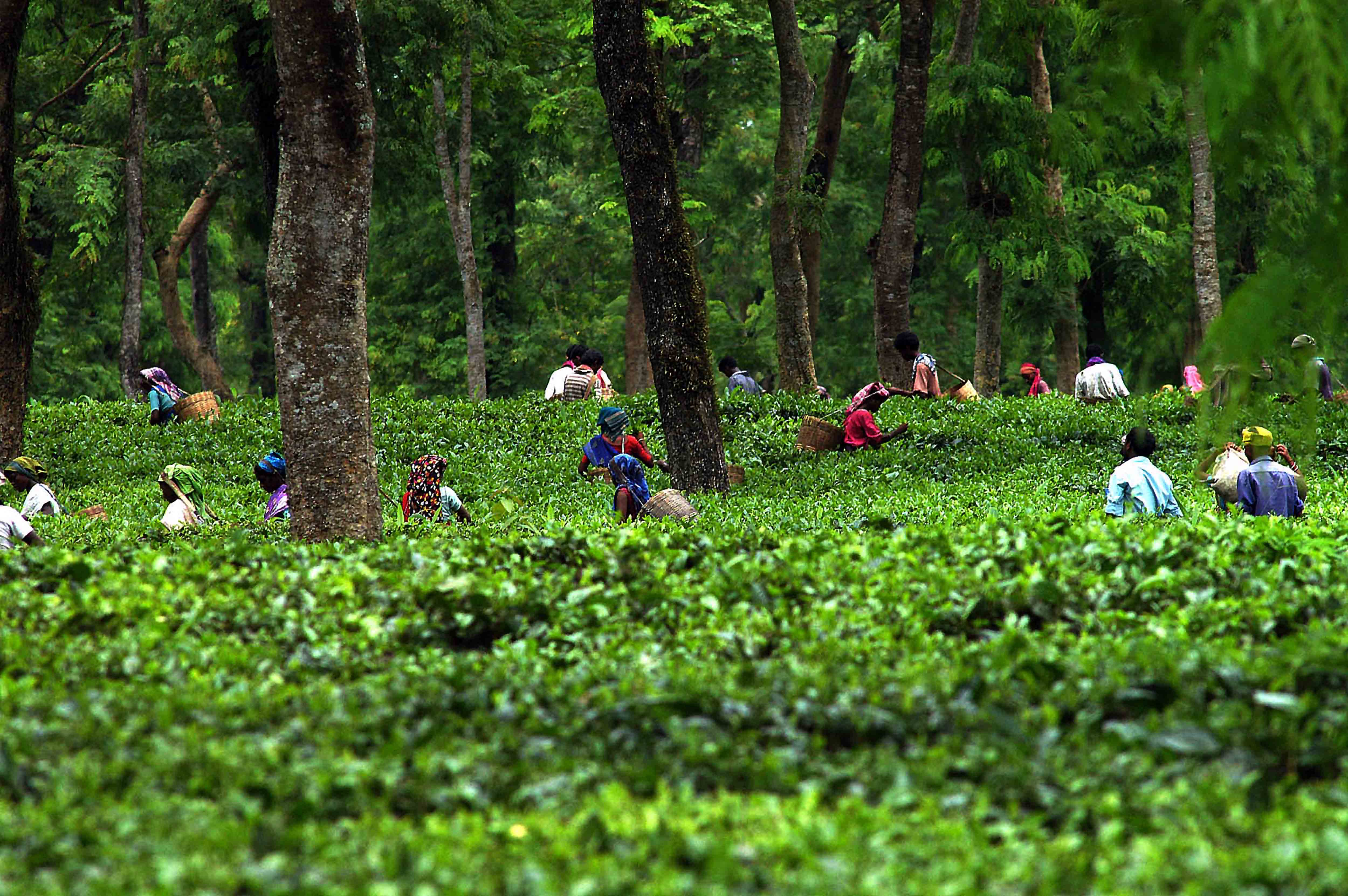 Tea Garden 6 The North East India Travel Blog
