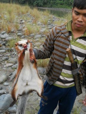 An Encounter With The Red Giant Flying Squirrel. At Namdapha National Park.