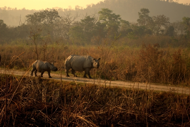 Kaziranga National Park, located at the far eastern state of Assam in India, is a forest basking in the glory of successful conservation. For, in just a span of a hundred years, the population of the one-horned Rhinoceros has increased from a mere hundred to more than two thousand of them today, who freely roam the vast grass expanses of the National Park. And not to mention, the tremendous efforts, sacrifices and dedication of the guards of the forest, without whom, the wild would not have survived.