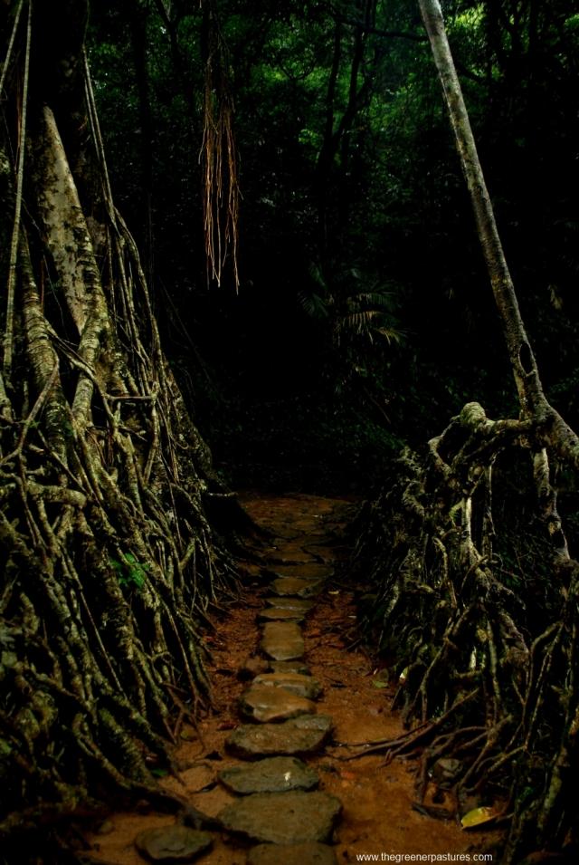living root bridge at mawlynnong meghalaya