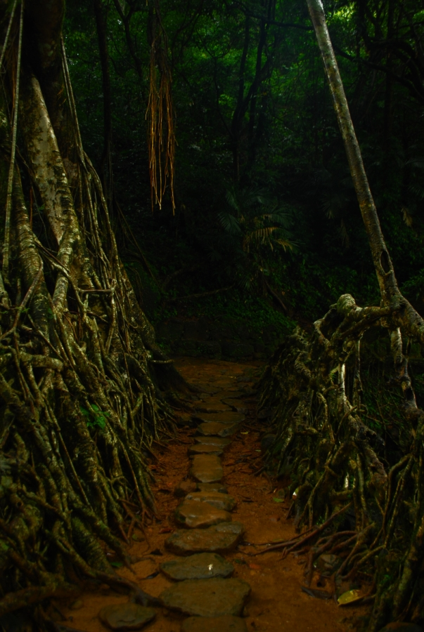 Interiors of the living root bridge. Perfection at eco-engineering.