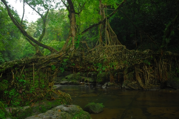 The magnificent living root bridge near the village.