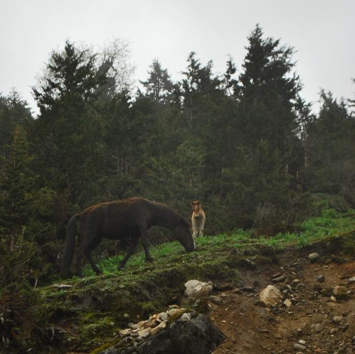 himalayan horses - tawang - arunachal pradesh