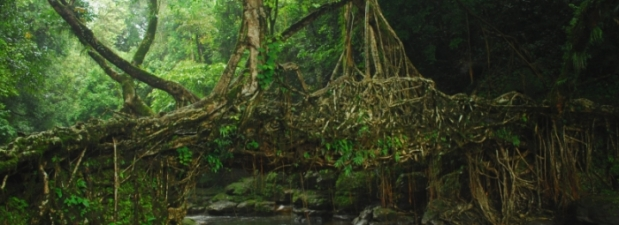 living root bridge of meghalaya 1