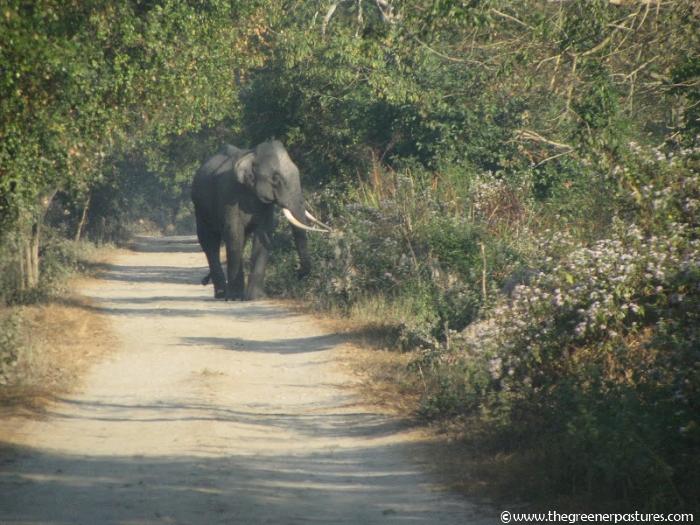 Wild Elephant at Kaziranga National Park