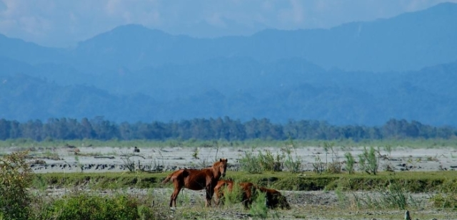 Feral horses at Dibru-Saikhowa National Park basking in the majestic backdrop of the Eastern Himalayas.