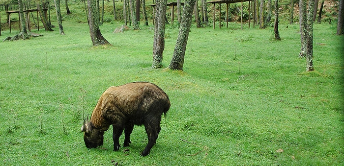 The elusive Takin, unique only to the Eastern Himalayas, grazes in the interiors of Mouling National Park.