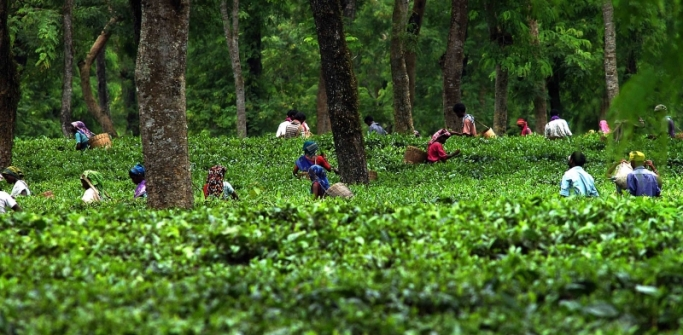 Tribal women pluck tea leaves early in the morning.