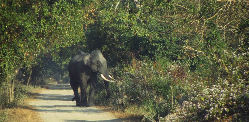 A wild handsome tusker roams in one of the tourist safari routes in Kaziranga National Park.