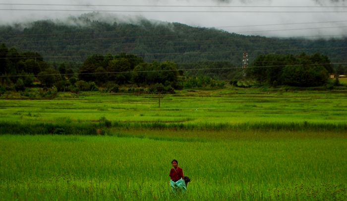An Apatani lady working in the lush green  rice fields.