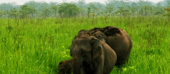 More than 800 elephants reside in Manas National Park.