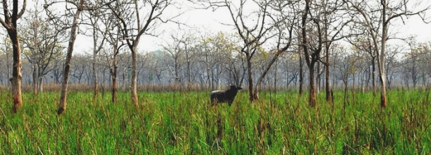 Asiatic Wild Buffalo, Manas National Park, Assam