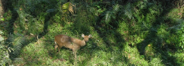 Deer, Orang National Park, Assam.