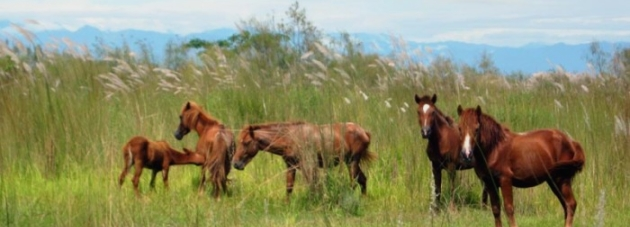 Feral horses, Dibru-Saikhowa National Park, Assam