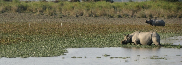 Rhino and Egrets, Kaziranga National Park, Assam