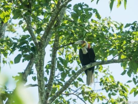 Rufous necked  Hornbill - Manas National Park, Assam