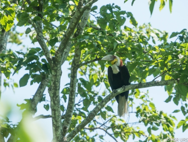 Rufous necked Hornbill - Manas National Park, Assam