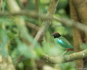 Photo Of The Day – Hooded Pitta (Pitta sordida)