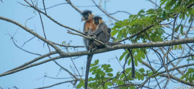 Capped Langur, Manas National Park