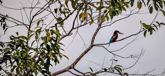Kingfisher, Dibru Saikhowa