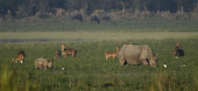 Rhinos, Kaziranga National Park