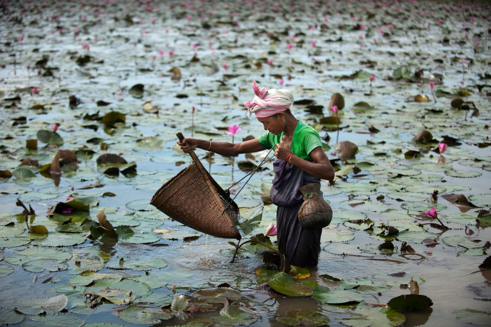 A woman uses a shovel-shaped basket net to fish for crabs among lilies