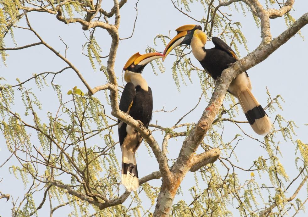 A pair of great hornbills in mating season (net)