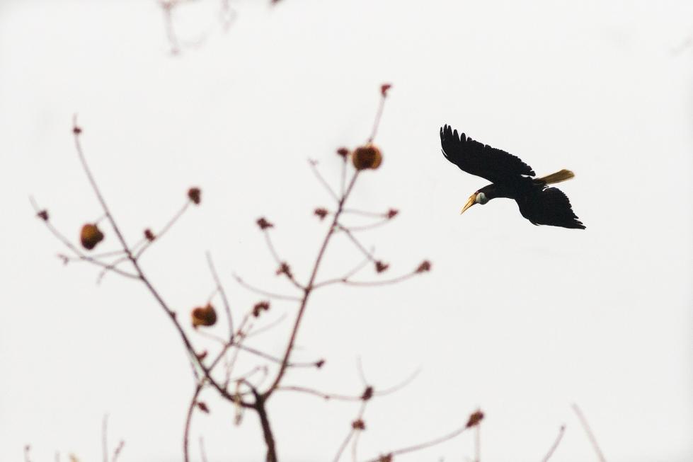A wreated hornbill takes flight (Pavel Handrk